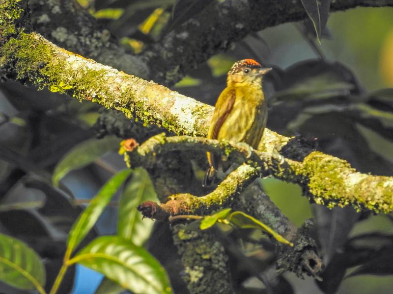 Olivaceous Piculet, Lancetilla Botanical Gardens, Honduras