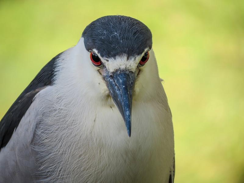 Black-crowned Nightheron, Jacksonville Zoo