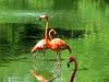 American Falmingo, Jacksonville Zoo