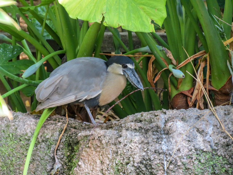Boat-billed Heron, Jacksonville Zoo