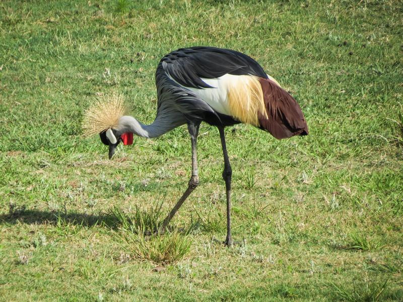 Crowned Crane, Jacksonville Zoo
