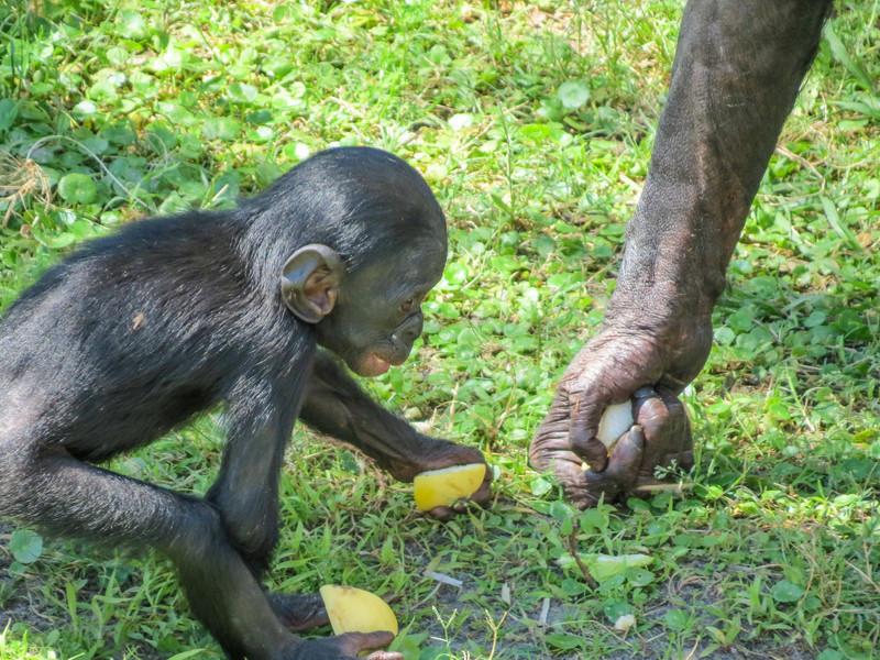 Silver-backed Gorilla, Jacksonville Zoo