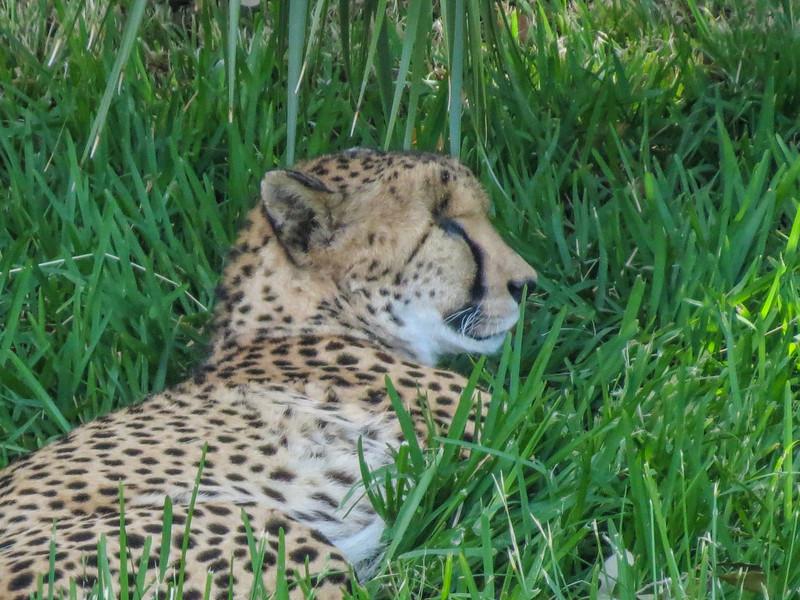 Cheeta, Jacksonville Zoo
