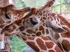 Giraffe, Jacksonville Zoo