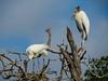Wood Stork, Jacksonville Zoo