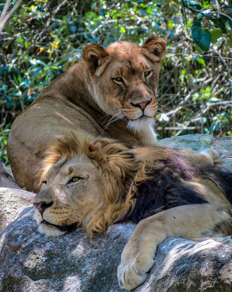 Lion, Jacksonville Zoo