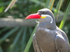 Austrailian Tern, Jacksonville ZooJacksonville Zoo