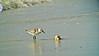 Sanderling: Jekyll Island GA 10/10