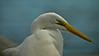 Great Egret, Jekyll Island GA 10/10
