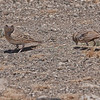Female Fischer's Sparrow-lark