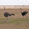 Male and female Common Ostrich