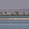 Mostly Greater Flamingos
