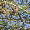 Slecticaled Mousebird