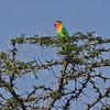 Fischer's/Yellow Collared Hybrid Lovebird