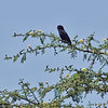 Village Indago Bird