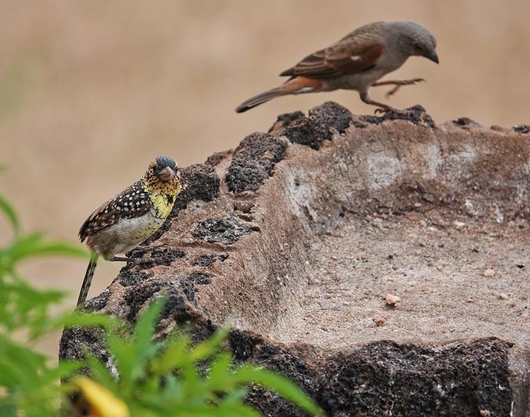 d'Arneaud's Barbet, Gray-headed Sparrow