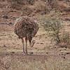 Common Ostrich (female)
