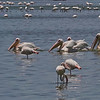 Pink-backed Pelicans and Greater Flamingos