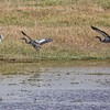 Black-headed Heron, 2 Grey Heron