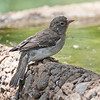African Grey-flycatcher
