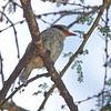 Streaked Kingfisher