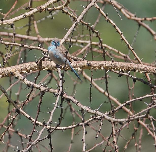 Female Red-cheeked Cordon-bleu