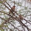 Cut-throat Finch