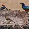 Darnaud's Barbet, Superb Starling, and Mwanza Flat-headed Agama