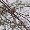 Female Cut-throat Finch