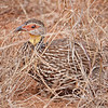Yellow-throated Spurfowl