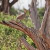 Yellow-throated Spurfowl