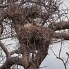 Verreaux's Eagle Owl, Immature
