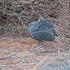 Female Helmeted Guineafowl