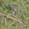 Female Red-billed Firefinch