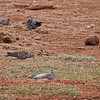 Speckled Pigeon, African White-winged Dove