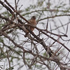 Female Cut-throat Finch