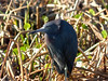 Little Blue Heron: Viera Wetlands, Melbourne FL, Zeiss PhotoScope 85FL