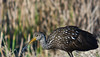 Limpkin: Viera Wetlands, Melbourne FL, Zeiss PhotoScope 85FL