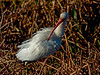 White Ibis: Viera Wetlands, Melbourne FL, Zeiss PhotoScope 85FL