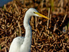 Great Egret: Viera Wetlands, Melbourne FL, Zeiss PhotoScope 85FL