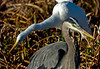 Great Blue Heron & Great Egret: Viera Wetlands, Melbourne FL, Zeiss PhotoScope 85FL