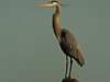 Great Blue Heron: Viera Wetlands, Melbourne FL, Zeiss PhotoScope 85FL