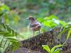 Clay-colored Thrush, Rio Santiago, Lodge at Pico Bonito, Honduras