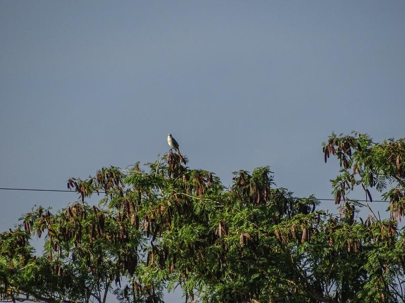 Trooical Mockingbird, Honduran Emerald Reserve Trip, Lodge at Pico Bonito