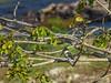 Green Kingfisher, Honduran Emerald Reserve Trip, Lodge at Pico Bonito