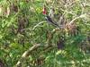 Lineated Woodpecker, Honduran Emerald Reserve Trip, Lodge at Pico Bonito