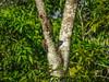 Golden-fronted Woodpecker, Rio Santiago, Lodge at Pico Bonito, Honduras