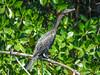 Neotropical Cormorant, Cuero y Salado Wildlife Refuge, Honduras