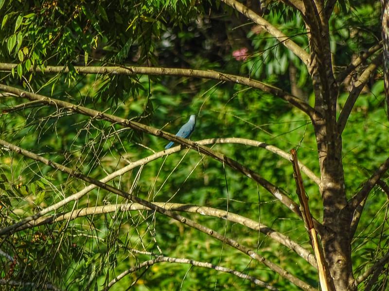 Blue-grey Tanager, Rio Santiago, Lodge at Pico Bonito, Honduras