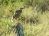 Eastern Meadowhawk, Honduran Emerald Reserve Trip, Lodge at Pico Bonito